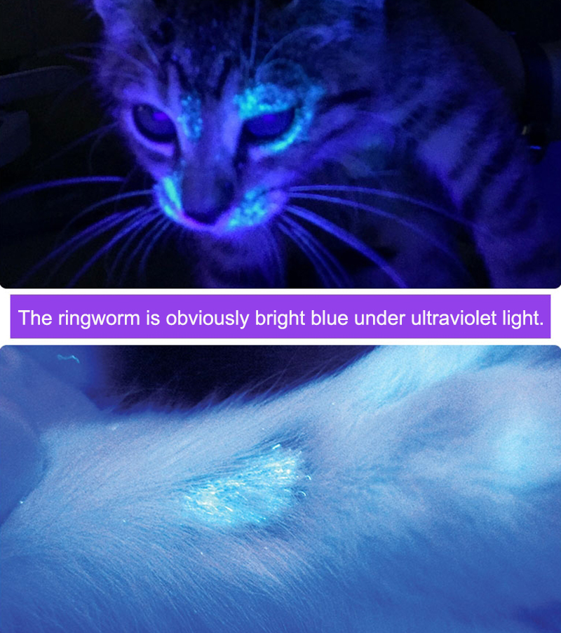 ringworm is obviously bright blue under ultraviolet light